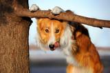 Fototapety cute funny dog stucks her tongue