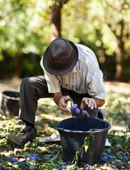 Senior farmer harvesting plums