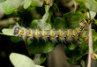 buff-tip caterpillar side view