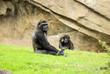 gorila observando