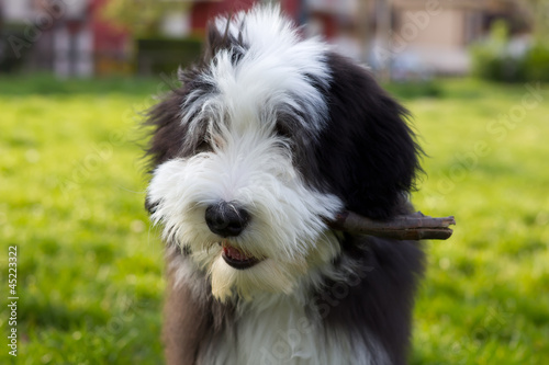 A bearded collie puppy playing in the park