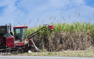 sugar cane cutting