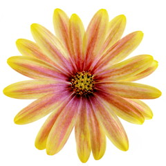 Isolated Yellow and Pink Daisy