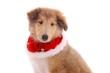 Collie Welpe - Weihnachten Portrait