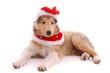 liegender Collie Welpe im Weihnachtskostüm