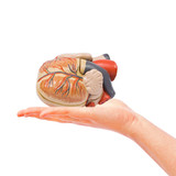 Hand holding human heart, medical help concept