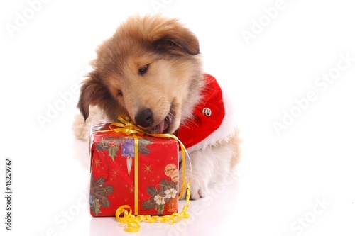 Collie Welpe packt Geschenk aus