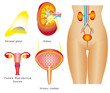 Female urinary system, reproductive system