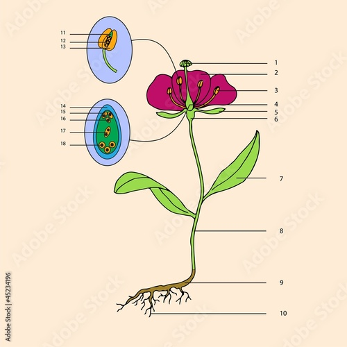 botanic, educational illustration of flower morphology