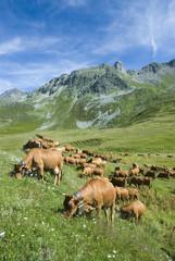 vaches tarines 8