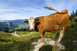 cow in the alps II