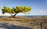 Stunted pine tree on a rocky coast poster