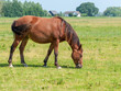 Brown horse grazing lonely