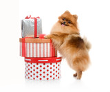 spitz, Pomeranian dog with gift-boxes in studio shot on white