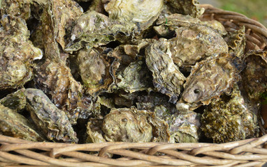 Raw cultivated oysters displayed in a basket