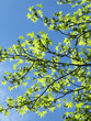 Green leaves of a maple on the blue. Spring sky.