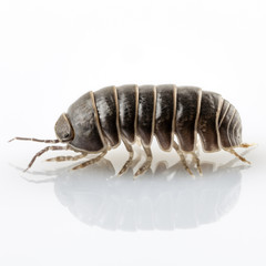 Pill-bug armadillidium vulgare