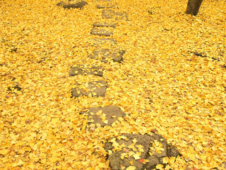 Path through the ginko leaves carpet