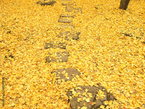 Path through the ginko leaves carpet