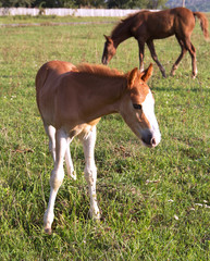 Foal and mare on green pasture