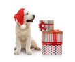 Three-month golden retriever puppy in a red Santa Claus hat