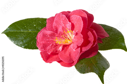 Pink camellia isolated on white