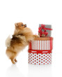 spitz, Pomeranian dog with gift-boxes in studio shot on white ba