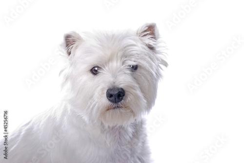 Westie on White