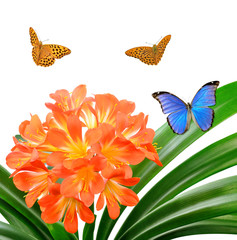Orange Clivia miniata with butterflies