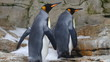King penguins in the aquarium