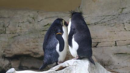 Macaroni penguin in the aquarium