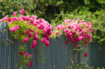 Pink roses on the fence