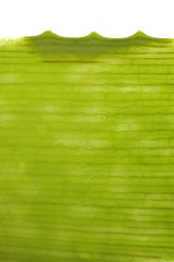 Structure of sliced aloe leaf