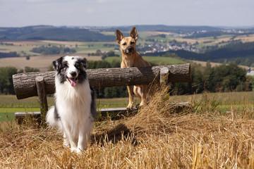 Australian Shepherd + Mischling