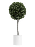 Myrtus topiary tree