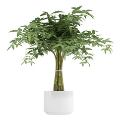 Ornamental bamboo houseplant