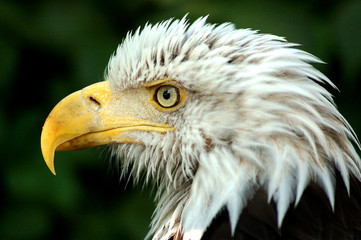 Bald Eagle's head - Profile - Leflt side