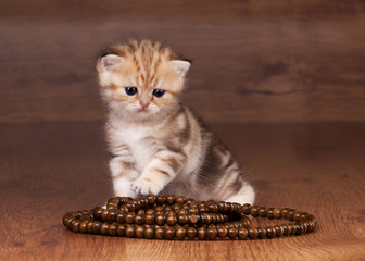 small golden british kitten on table with wooden texture with be