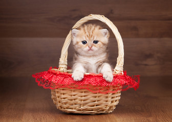 small golden british kitten on table with wooden texture in bask