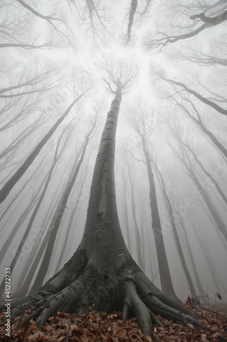 huge old tree in a forest with fog
