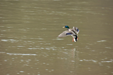 Stockente beim Landeanflug auf Wasser