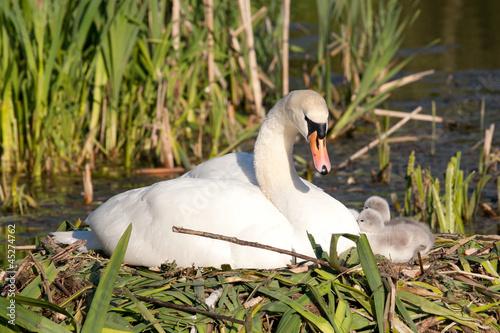 Fotobehang Swan family