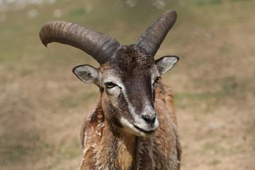 Mouflon sheep closeup