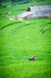 Farmer in Vietnam is growing rice in the terrace