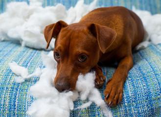 naughty playful puppy dog after biting a pillow