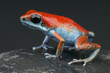 Red and Blue dart frog / Oophaga pumilio