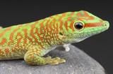 Giant day gecko / Phelsuma madagascariensis poster
