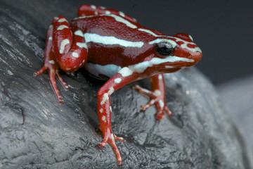 Striped dart frog / Epidobates anthonyi