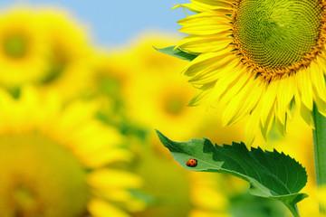 ladybug and sunflower