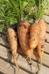 Freshly dug organic carrorts
